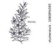 realistic medical plant manuka. ... | Shutterstock .eps vector #1080896585