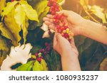 woman hand pick coffee seeds... | Shutterstock . vector #1080935237