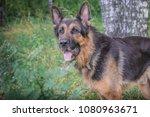 german shepherd dog in sunny... | Shutterstock . vector #1080963671