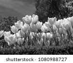monochrome flowers in ... | Shutterstock . vector #1080988727