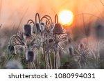 spring morning on grassland ... | Shutterstock . vector #1080994031