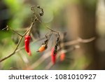 red chilli pepers garden does... | Shutterstock . vector #1081010927
