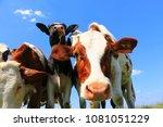 calves on the field | Shutterstock . vector #1081051229