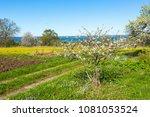flowering fruit trees in a...   Shutterstock . vector #1081053524