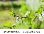 the cherry blossoms in spring... | Shutterstock . vector #1081053731
