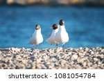Three Seagulls Standing On A...