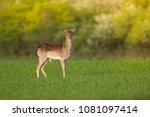 Wild Young Fallow Deer ...