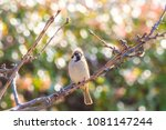 sparrow perched on a branch... | Shutterstock . vector #1081147244