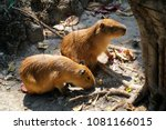 two capybaras under the tree ... | Shutterstock . vector #1081166015