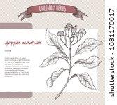 clove aka syzygium aromaticum... | Shutterstock .eps vector #1081170017