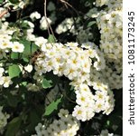 Small photo of White flowers of Pyracantha bush