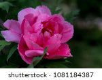 vivid pink peonies peony roses... | Shutterstock . vector #1081184387