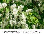 bird cherry blossom  spring | Shutterstock . vector #1081186919