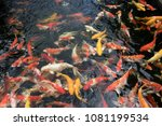 School Of Carps Rushing For...