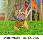 french bulldog outside on a... | Shutterstock . vector #1081277939