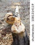 Small photo of Tree stump cut by American Beaver Castor canadensis along Alaska Highway, near Whitehorse, Yukon, Canada