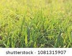 fresh green grass with water...   Shutterstock . vector #1081315907