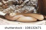 white cobra snake - stock photo