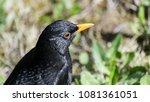 common or eurasian blackbird... | Shutterstock . vector #1081361051