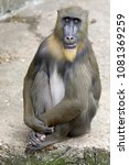 young male mandrill | Shutterstock . vector #1081369259