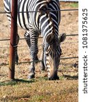 Small photo of Zebra reaches through fence to reach grass on the other side.