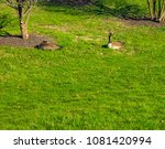 ducks laying on the field | Shutterstock . vector #1081420994