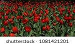 wild red tulips | Shutterstock . vector #1081421201