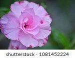 flower at garden botany bay ...   Shutterstock . vector #1081452224