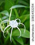flower at garden botany bay ...   Shutterstock . vector #1081452254