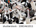 Small photo of Group of pelicans being fed with one pelican holding a fish head.
