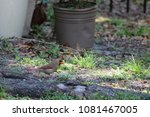 female northern cardinal... | Shutterstock . vector #1081467005
