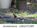 female northern cardinal... | Shutterstock . vector #1081471589