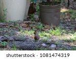 female northern cardinal... | Shutterstock . vector #1081474319