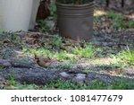 female northern cardinal... | Shutterstock . vector #1081477679