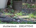 female northern cardinal... | Shutterstock . vector #1081479545
