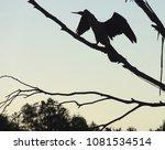 silhouette of cormorant opening ... | Shutterstock . vector #1081534514