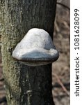 Small photo of Fomes fomentarius (tinder fungus, false tinder fungus, hoof fungus, tinder conk, tinder polypore, ice man fungus) growing on trunk, close up detail, brown blurry vertical background