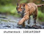 close up siberian tiger ... | Shutterstock . vector #1081692869