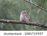 eurasian pygmy owl swabian jura ... | Shutterstock . vector #1081719557