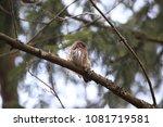 eurasian pygmy owl swabian jura ... | Shutterstock . vector #1081719581