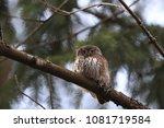 eurasian pygmy owl swabian jura ... | Shutterstock . vector #1081719584