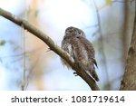 eurasian pygmy owl swabian jura ... | Shutterstock . vector #1081719614