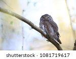 eurasian pygmy owl swabian jura ... | Shutterstock . vector #1081719617