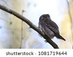 eurasian pygmy owl swabian jura ... | Shutterstock . vector #1081719644