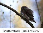 eurasian pygmy owl swabian jura ... | Shutterstock . vector #1081719647