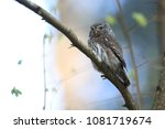 eurasian pygmy owl swabian jura ... | Shutterstock . vector #1081719674