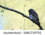 eurasian pygmy owl swabian jura ... | Shutterstock . vector #1081719701