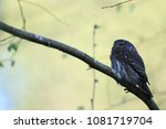 eurasian pygmy owl swabian jura ... | Shutterstock . vector #1081719704