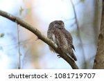 eurasian pygmy owl swabian jura ... | Shutterstock . vector #1081719707