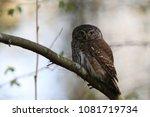 eurasian pygmy owl swabian jura ... | Shutterstock . vector #1081719734